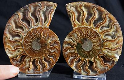 14401 Cut Split PAIR Ammonite Deep Crystal Cavity 110myo Fossil 96mm XL 3.8""