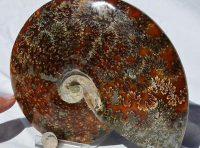 "WHOLE Ammonite GREAT SUTURE PATTERN 110myo Dinosaur Fossil 187mm XXXL 7.3"" 515xv"
