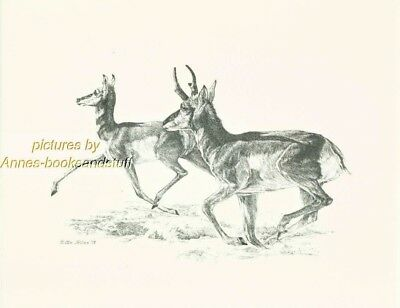 #183 PRONGHORN ANTELOPE * wildlife  art print * pen & ink drawing by Jan Jellins