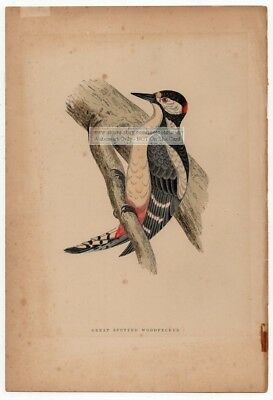 Great Spotted Woodpecker Original c1860 Morris Hand Colored Print
