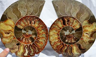 8639xxx Cut Split PAIR Ammonite Deep Crystal Cavity 110myo Fossil 223mm XXL 8.8""