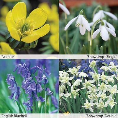 Spring 'In The Green' Aconites, Bluebells, Snowdrops 25, 50, 100, 200 Bulbs T&M