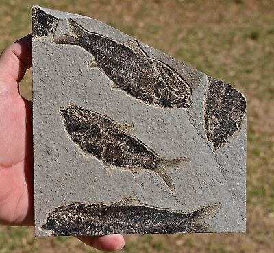 Fossil Fish Plate, Knightia eocaena, Green River Formation,Wyoming, U.S.A.