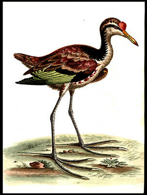The Spur-Winged Water Hen George Edwards Copper Plate Engraving Hand-Colored