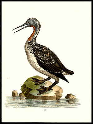 Red-Throated Ducker or Loon George Edwards Copper Plate Engraving Hand-Colored