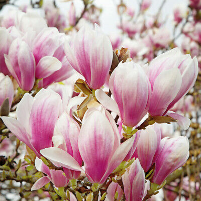 Hardy Perennial Magnolia 'Red Lucky' Tree 1, 2, 4 Bare Roots or Collection T&M