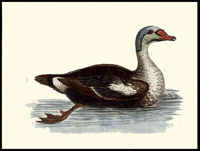 1750 The Grey Headed Duck  George Edwards Copper Plate Engraving Hand-Colored