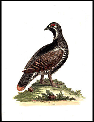 Black & Spotted Heath-Cock  George Edwards Copper Plate Engraving Hand-Colored