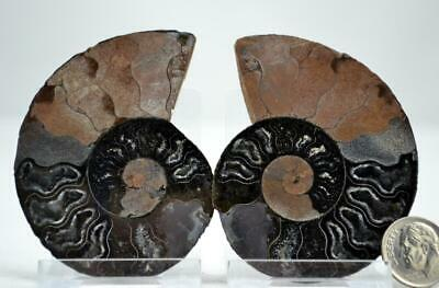 """e4263xx RARE 1 in 100 BLACK Ammonite PAIR Crystals LARGE 58gm FOSSIL 68mm 2.7"""""""