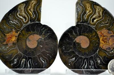"""e4253xx RARE 1 in 100 BLACK Ammonite PAIR Crystals LARGE 146gm FOSSIL 74mm 2.9"""""""
