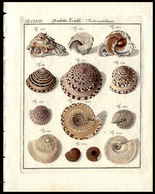 1785 F W Martini Copper Plate Engraving Hand Colored Sea Shells Oceanography