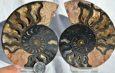 9170 RARE 1in100 BLACK Ammonite PAIR Deep Crystals 110myo FOSSIL LRG 108mm 4.2""