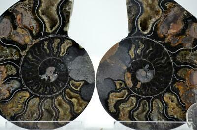 """e4254xx RARE 1 in 100 BLACK Ammonite PAIR Crystals LARGE 146gm FOSSIL 80mm 3.2"""""""