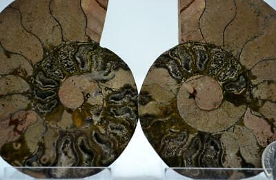 """e4260xx RARE 1 in 100 BLACK Ammonite PAIR Crystals LARGE 146gm FOSSIL 88mm 3.4"""""""