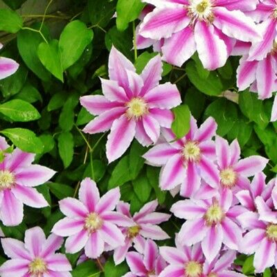 50x Mixed Color Clematis Flower Seeds Garden Balcony Climbing Plants Seeds