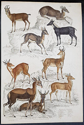 1830 Captain Thomas Brown Antique Print of Nine Species of Antelopes (90654)
