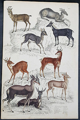 1830 Captain Thomas Brown Antique Print of Nine Species of Antelopes (90645)