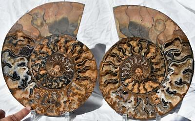 "2247xx RARE HUGE Split Ammonite PAIR Deep Crystals 9.8# XXXXL 11.5"" 110myo 292mm"