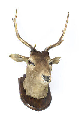 A Scottish Mounted Taxidermy Stag  Mid 20 century