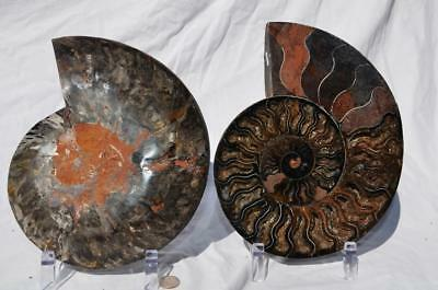 "Ammonite PAIR RARE 1 in 100 BLACK Deep Crystals XXXXLARGE 8.3"" HUGE 210mm 7292vx"