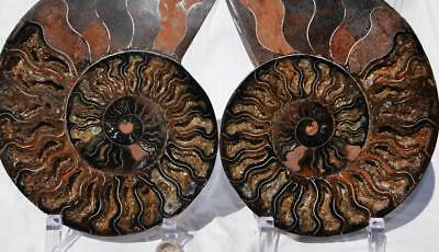 "7292xx RARE 1 in 100 BLACK Ammonite PAIR Deep Crystals XXXXLARGE 8.3"" HUGE 210mm"