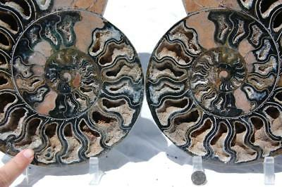 1533xx RARE 1in100 BLACK Ammonite PAIR Deep Crystal FOSSIL XXXLG 268mm 10.5""