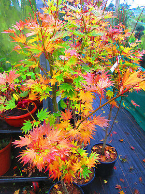 Japanese Maple Acer Aureum Jordan 5ft Inc Pot 12litre Size