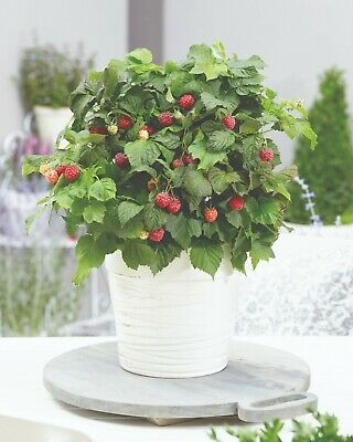 Raspberry Summer Fruiting Hardy Shrub Plant 'Yummy' 1 or 3 x 9cm Plants T&M