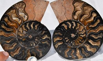 "7444 RARE 1in100 BLACK Ammonite PAIR Deep Crystals 110myo FOSSIL LRG 4.4"" 114mm"