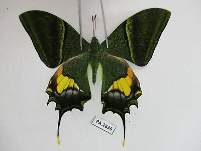 PA2836. Unmounted butterflies:Teinopalpus imperialis. Central Vietnam.Over 2000m