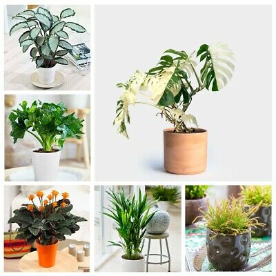 100PCS Monstera Philodendron Calathea Sansevieria Seeds Palm Indoor House Plant
