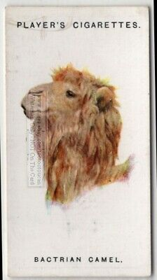 Bactrian Camel 85+ Y/O Ad Trade Card