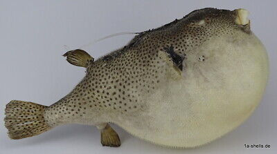 TAXIDERMY - kugelfisch igelfisch papagei fisch blowfish XL 345 mm