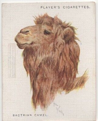 Bactrain Camel Asia India Camelus bactrian  80+ Y/O Trade Advertising Card