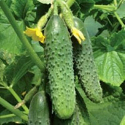 Seeds Rare Cucumber Malyw F1 Mini Pickling Vegetable Organic Russian Ukraine