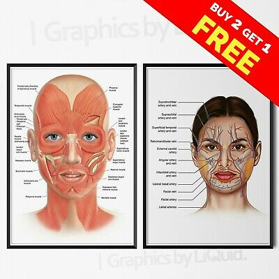 FACE ANATOMY MUSCLES VEINS Detailed Chart Science Poster Print*LAMINATION* A4 A3