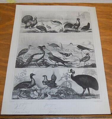 c1856 Bird Print/ZOOLOGY / STILT,RAIL,CRAKE,TURKEY,GROUSE,QUAIL,IBIS,SCREAMER