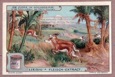 Forest Plants Mount Kilimanjaro Africa c1907 Trade Ad Card