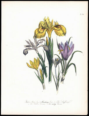Yellow Water Iris Early Crocus 1859 Jane Wells Loudon Hand-Colored LIthograph