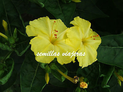 Mirabilis jalapa yellow, Don Diego de noche amarillo 20 semillas, seeds, graines