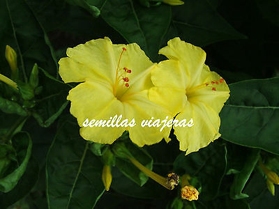 Mirabilis jalapa yellow, Don Diego de noche amarillo 15 semillas, seeds, graines