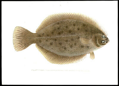 The Flat Fish 1902 Sherman F. Denton Hand-Colored Chromolithograph Oceanography