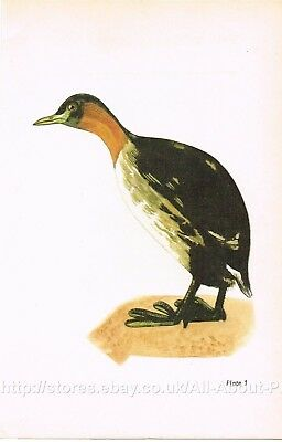 Little Grebe 1961 Vintage Bird Print Picture Jan Solovjev SB#01