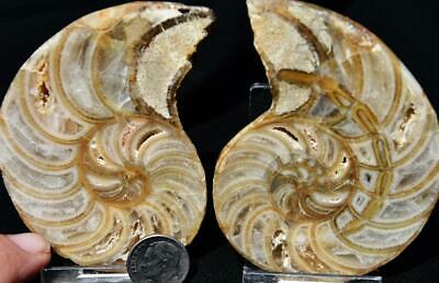 2765 Cut Split Pair Ammonite Rare Cymatoceras 110myo Fossil 86mm Large 3.4""