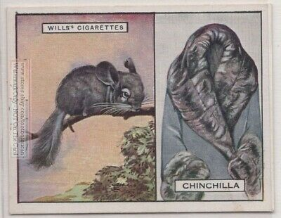 Chinchilla And Its Fur Pelt Trapping Hunting South America c90 Y/O Ad Trade Card
