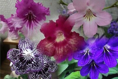 Streptocarpus Lucky Dip Collection of six different plants for the price of five