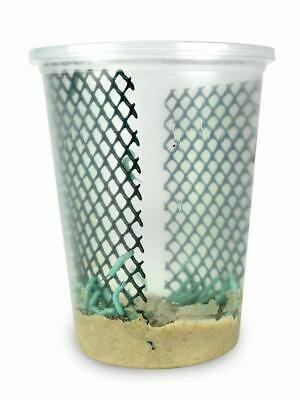 """25-30 Live Hornworms With enough food to grow them to about 1-1/2 to 2"""" max."""