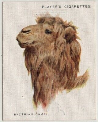 Two Humped Bactrian Camel Asia Desert  1930sTrade Advertising Card
