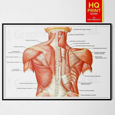 Human Anatomy Education Trapezius Back Muscle Shoulder Poster *Lamination A4 A3