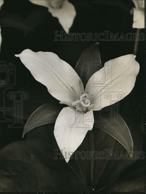 1939 Press Photo Trilliums are one of the first heralds of spring - orb13944
